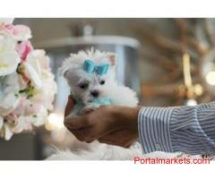 Amazing X-Maltese Puppies Available.
