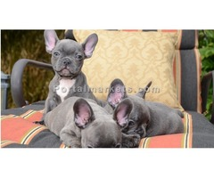 Healthy blue pied French Bulldog Puppies Ready