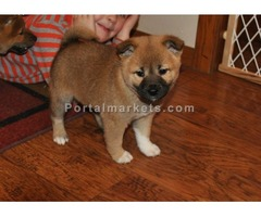Cute Shiba Inu puppies for sale now