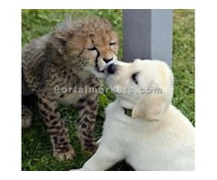 baby cheetah for sale