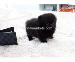 Pomeranian Puppies For Sale Call/Text (240) 249-2824