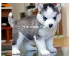We are given out our husky puppies for adopt ion text  (913) 257-3154