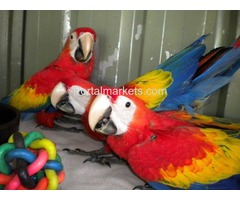 Tame, healthy, well trained parrots, amazons and cockatoos for sale
