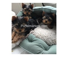 Your Male/Female Yorkie Puppies For Sale