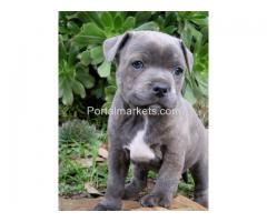 Blue nose American pit bull puppies