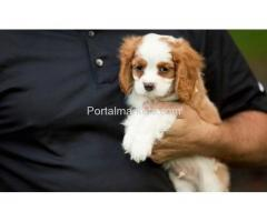 Healthy Cavalier King Charles Spaniel puppies available