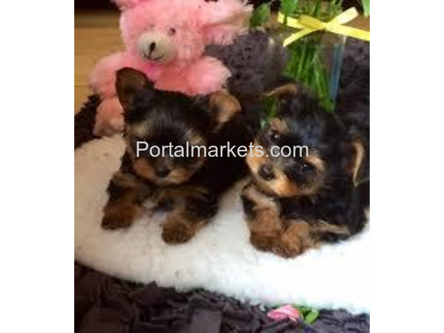 Akc Yorkie Puppies For Sale - 1/1