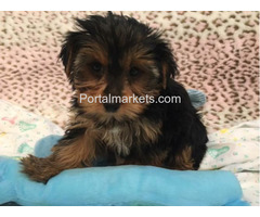 CHARMING AKC YORKIE PUPPIES FOR SALE.......678-881-4735