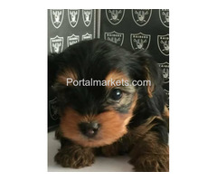 TEA CUP YORKIE PUPPIES FOR SALE .